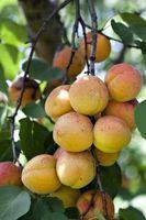 Hvordan å beskjære en fersken treet i Nordvest