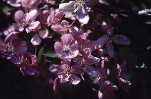 Blomstrende Crabapple Tre Sykdommer