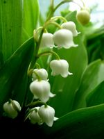 Lily Plant Typer
