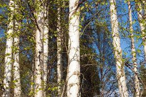 Birch Tree Insekter