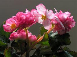 Hvordan Grow Begonia i Pots