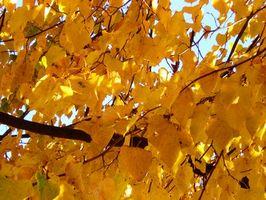 Hage Tre Leaf Identifikasjon