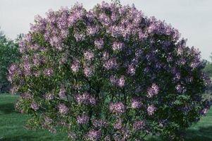 Hvordan Revive Vissen Lilac Planter