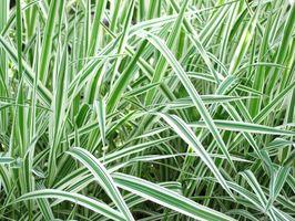 Ornamental Grass House Plants