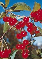 Hvordan Plant en Cherry Tree