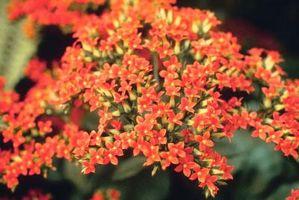 Beskrivelse av Kalachoe Planter