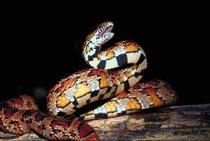 Min Over-vannes Snake Plant Trenger hjelp