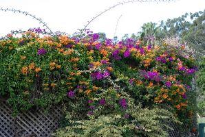 Blomstrende Vines i sone 7