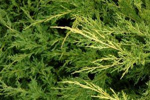 Hvordan Landscape eviggrønne trær og busker