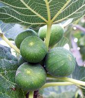 Kan jeg beskjære et Fig Tree i januar?
