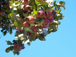 Hvordan å beskjære epletrær i vinter