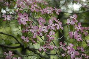 Hvor lenge for Dogwoods til Flower?