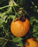 Hvordan Space Pumpkins frø i Mounds