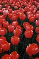 Gjør Tulip pærer Multiply?