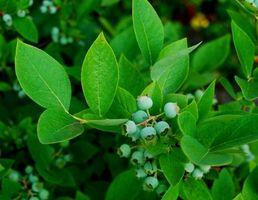 Varianter av blåbær planter for sørlige USA