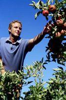 Hvordan Grow økologiske epler på Home