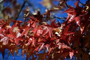 Crimson kong Maple Tree Beskrivelse