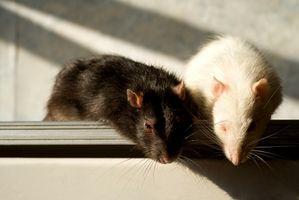 Hvordan bli kvitt Rat Hekker i Walls