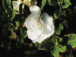 Hvordan lage en Gardenia Bouquet