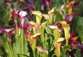 slik care for potte calla lilies. Black Bedroom Furniture Sets. Home Design Ideas