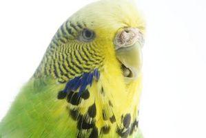 Hvordan bli kvitt Parakeet Midd i Wood