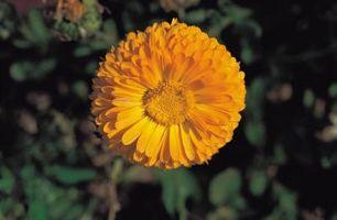 Når Do Hardy Mums i hagen Begynn å blomstre?