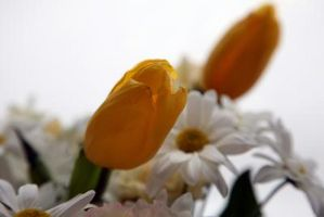 Hva er forskjellene mellom Daisies & Tulipaner?