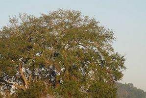 Hvordan identifisere Texas Oak Trees