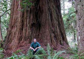 Hvordan Plant og vokse en Redwood Seedling
