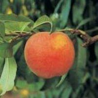 Hvordan kan et Peach vokser?
