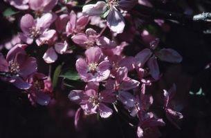 Hvor lenge Flowers Sist på Crabapple trær?