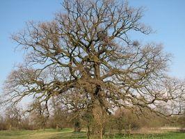 Bruk av Red Oak Wood