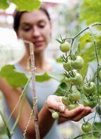 Slik unngår du at krysspollinering i tomatplanter