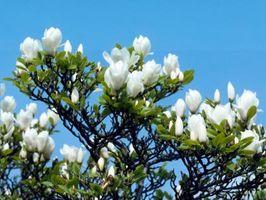 Slik Care for Young Magnolia Trees i Florida