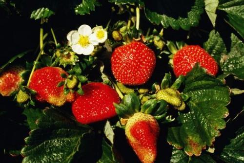 Hvordan Grow Hydroponic Strawberries Hengende i Troughs