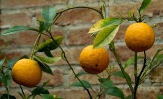 Hvordan Plant Frukttrær
