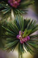 Mountain Pine Trees