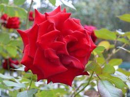 Red Rose Typer