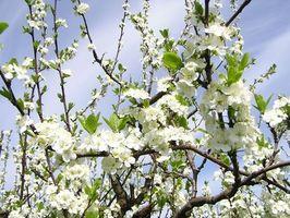 Sykdommer i Thunder Plum Trees