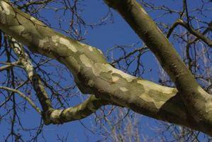Hvordan Grow Sycamore Trees fra borekaks