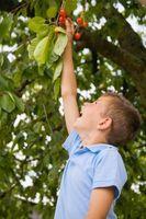 Når bør du flytte en Cherry Tree til et nytt sted?