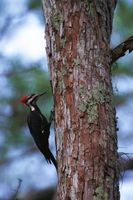 Fugl Skade på Pine Trees