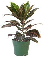 Hva er årsaken til potteplanter til Wilt?