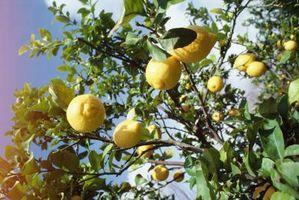 Vil en liten Citrus Bush produsere frukt?