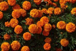 Blomster som frastøter Mygg og Feil i hager