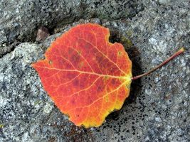 Hvordan identifiserer jeg en Poplar Leaf?