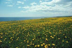 Hvordan kvitt Weeds i Prairie Blomster