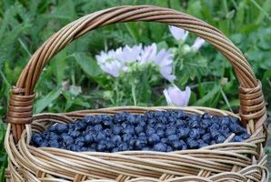 Typer fruktbærende Busker