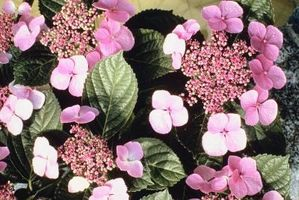 Hva bestemmer fargen på Hydrangea Blossoms?