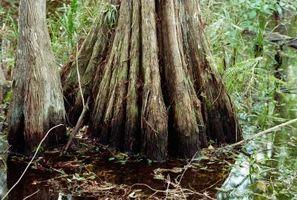 Bald Cypress Trees Med Noen brune blader i sommer